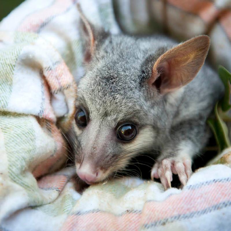 Possums Circular Pest Services
