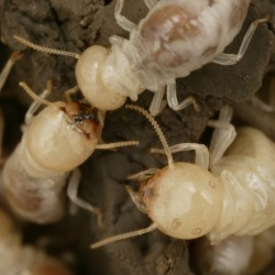 Eradicating Live Termites